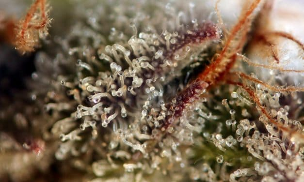 Top 5 strains to grow outdoors